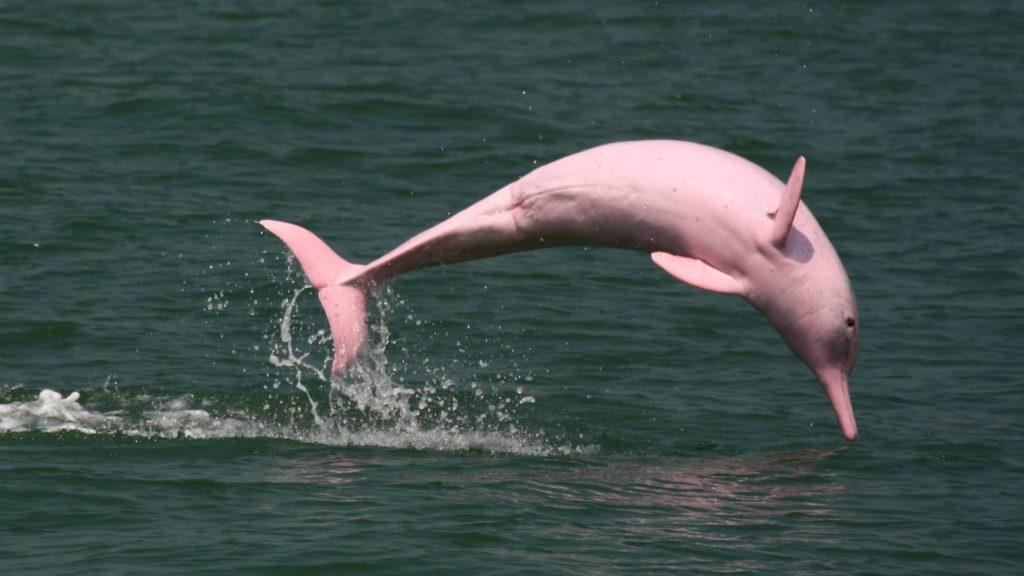 Розовый амазонский дельфин